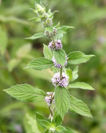 menthalongifolia