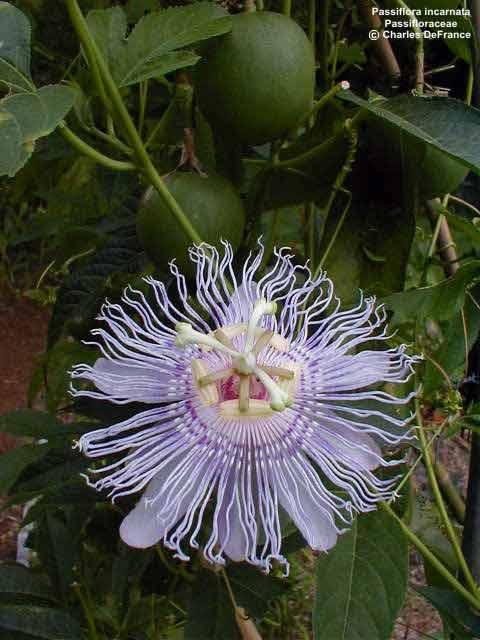 passifloraincarnataok